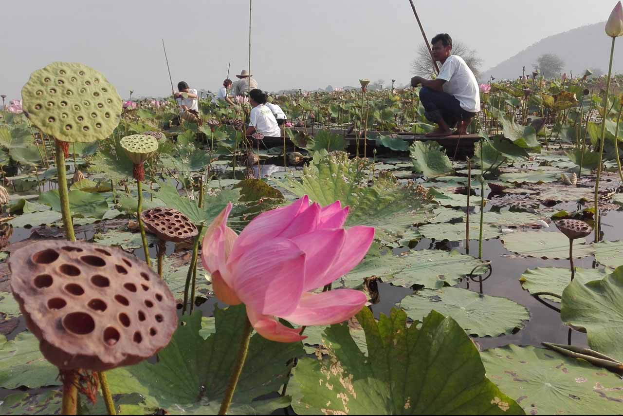 Samatoa lotus farm cover