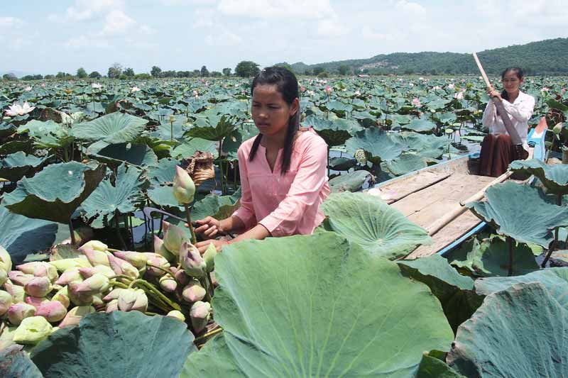 Lotus harvesting